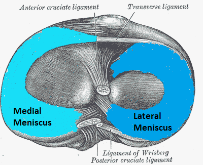 The knee meniscus is made up of two crescent shaped portions of fibrocartilaginous tissue