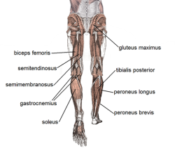 The hamstrings are the knee muscles found on the back of the thigh.  They work to bend the knee