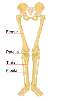 The four main knee bones are the femur, patella, tibis & fibula
