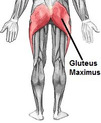 Muscles of the lower limb (from behind), highlighting gluteus maximus