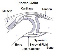Around the knee bones are muscles, cartilage, tendons, a joint capsule & synovial fluid