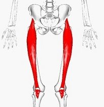 Rectus Femoris - one of the quadriceps muscles