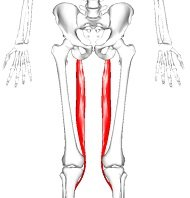 Semitendinosus - one of the three hamstring muscles found on the back of the thigh