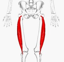 Vastus Lateralis - the largest and most powerful of the quadriceps