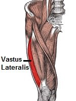 Vastus Lateralis and the surrounding muscles