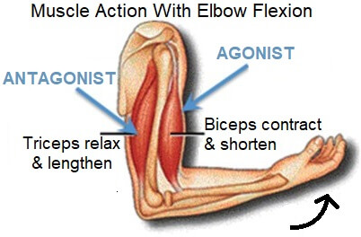 Muscles work in pairs to produce movement. One muscle contracts while the other relaxes