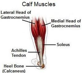 Calf anatomy - gastrocnemius and soleus