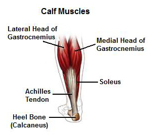 Calf anatomy - gastrocnemius and soleus