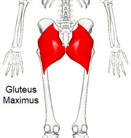Gluteus Maximus - the largest and most superficial of the gluteal muscles