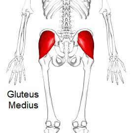 Gluteus Medius - the middle gluteal muscle