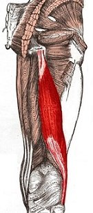 Hamstring muscles on the back of the thigh - biceps femoris highlighted