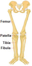 The four main knee bones are the femur, patella, tibia & fibula