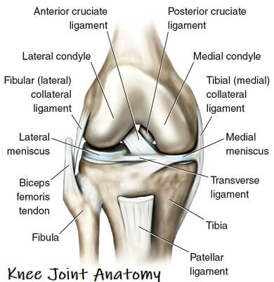 Knee joint anatomy guide - find out everything you need to know about the knee