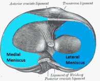 Diagram showing the knee meniscus