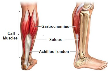knee muscles knee pain explainedjust below the knee on the back of the shin are the calf muscles, soleus and gastrocnemius