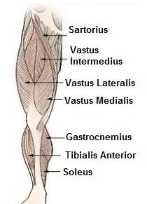 Leg and knee muscles