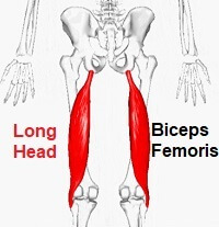 Long head of Biceps Femoris, one of the hamstring muscles
