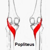 Popliteus muscle: found on the back of the knee just below the joint