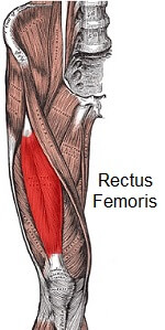 Rectus femoris and the surrounding muscles on the front of the thigh