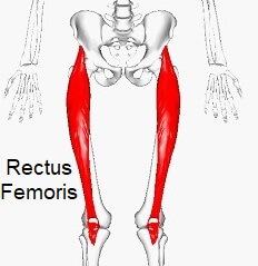 Rectus Femoris - one of the quadriceps muscles