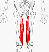 Semimembranosus is the deepest and most medial of the hamstring muscles