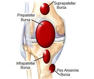 Knee joint anatomy - Bursa. The knee bursa help to reduce friction between the knee bones and muscles.