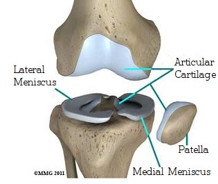 Knee joint anatomy: Knee cartilage and meniscus