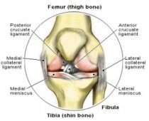 Knee joint anatomy guide