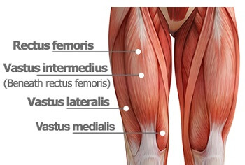 The quadriceps are the knee muscles found on the front of the thigh.  They work to straighten the knee