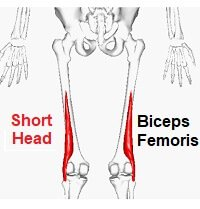 Short head of Biceps Femoris, one of the hamstring muscles